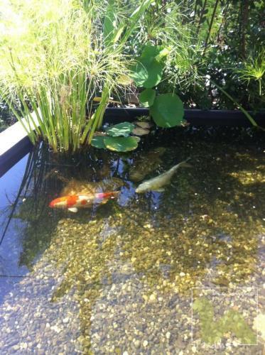 Réalisation d'un bassin pour Carpes Koi