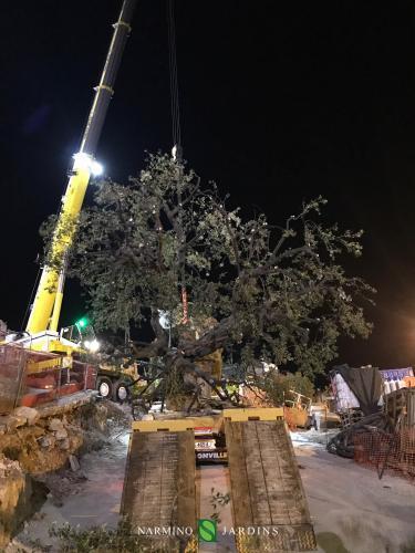 Fin du déplacement de l'olivier de 20 tonnes.