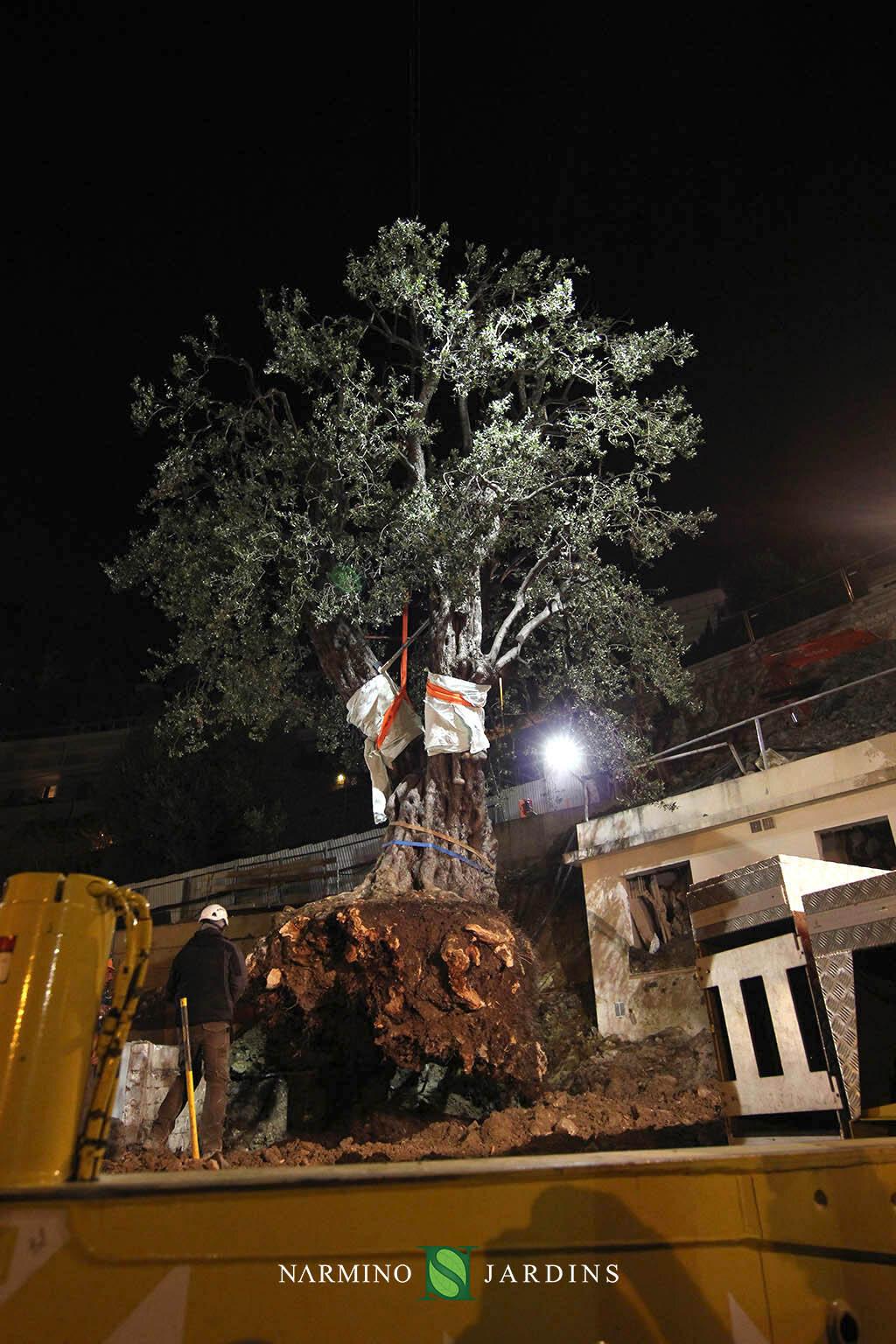 Photo du déplacement d'un olivier de plus de 20 tonnes. Une performance de l'entreprise paysagère et d'entretien d'espaces verts Narmino Jardins.