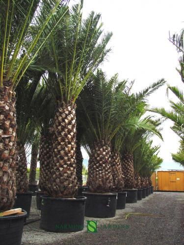 Un palmier Phoenix