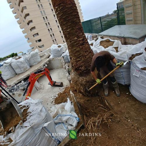 Déplacement d'un palmier, déracinage