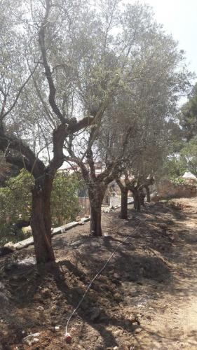 Plantation d'une belle haie d'oliviers prise dans une villa historique du bord de mer
