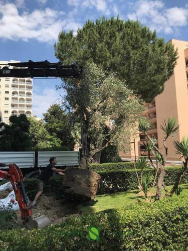 Une grue pour planter un olivier
