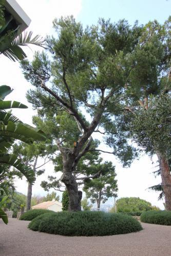 Les pins sont nombreux