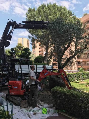 Plantation d'un olivier à Monaco