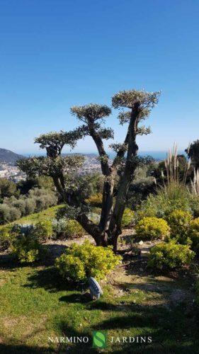 Exemple de taille d'un olivier